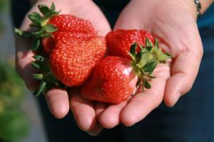 【苗栗】張AA與象鼻部落草莓農園
