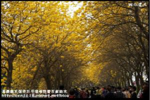 【嘉義】黃花風鈴木 黃金大道
